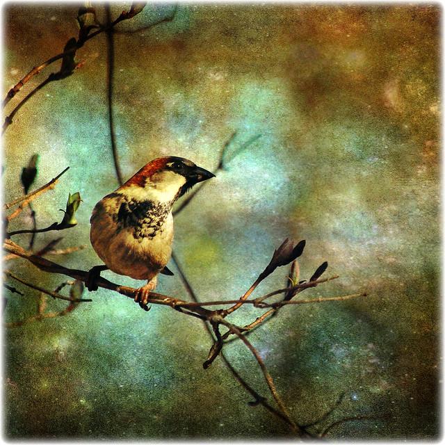 house sparrow . . .