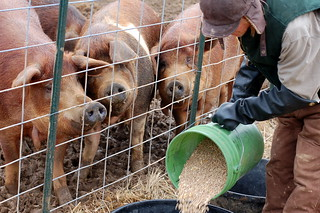 Feeding the big pigs | by Dana McMahan