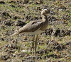 Double-striped Thick-knee by Anita363