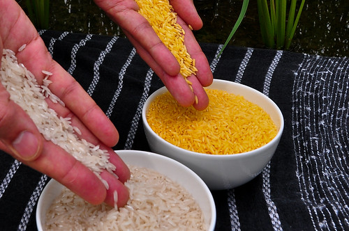 Golden Rice grain compared to white rice (8)-24 | by IRRI Images