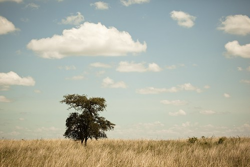 africa sleeping cloud tree field grass clouds day cloudy kenya nairobi safari cover lions grassy vast