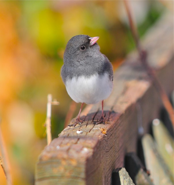 Dark-eyed Junco on a sunny winter day