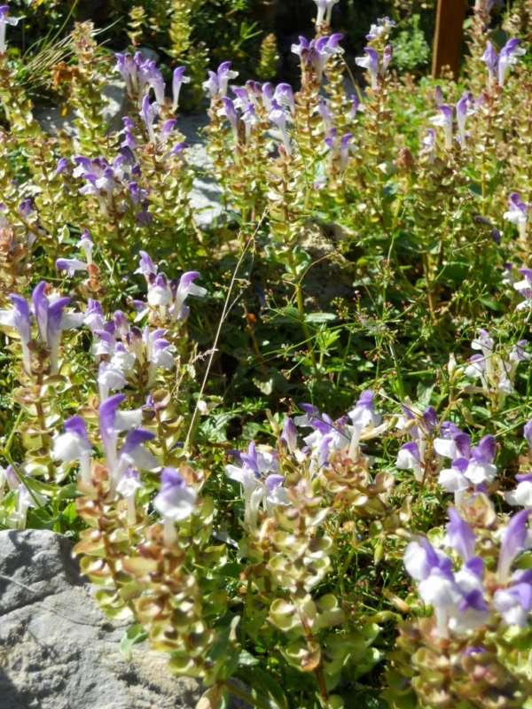 Scutellaria alpina v 1