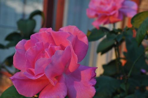 morning pink sunset red plant flower window rose sunrise outside backyard texas