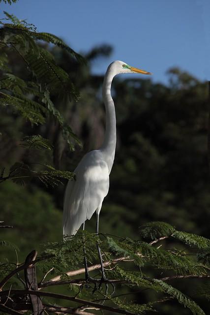 Ardea alba / Great Egret / Большая белая цапля. Campeche. Mexico. IMG_5677