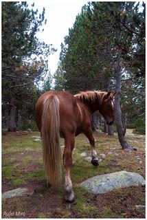 Cavall salvatge