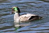 Falcated Duck by blueeyes_inoki