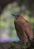 黑冠麻鷺Malayan Night Heron,taken at Taiwan by 賞景者 Jeff Lin