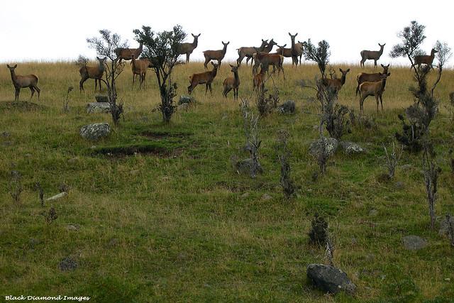 Cervus elaphus scoticus - Red Deer
