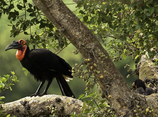 Southern Ground-Hornbill | by gwendolen