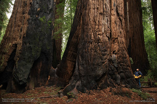 Henry Cowell Redwoods State Park   by TTVo