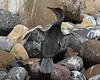 Flightless Cormorant (Phalacrocorax harrisi) by Lip Kee