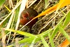 Ruddy-breasted Crake - Taiwan_S4E9861 by fveronesi1