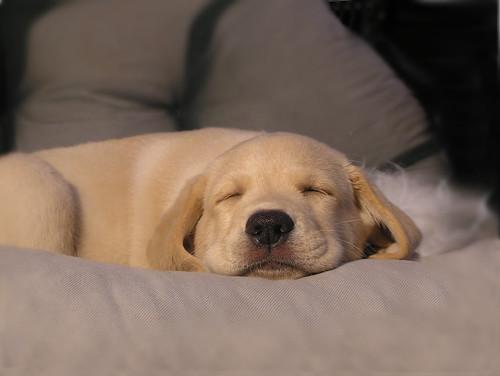 Puppys dream   by smerikal
