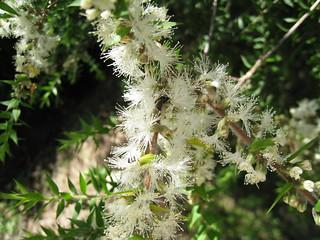 Prickly-leaved Paperbark blossom