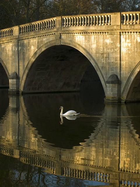 A Swan Glides Past Clumber Bridge