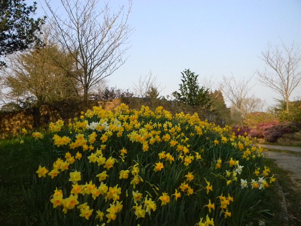 Daffodils near Westerham Sevenoaks to Westerham