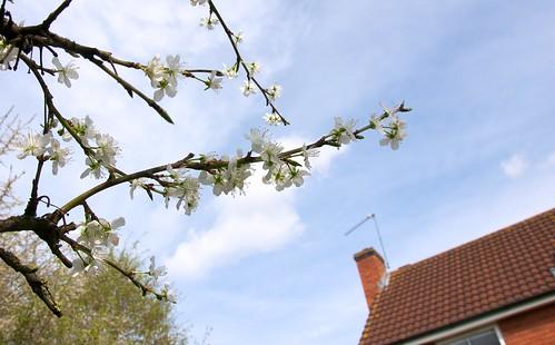 More Spring Blossom | by Pewari