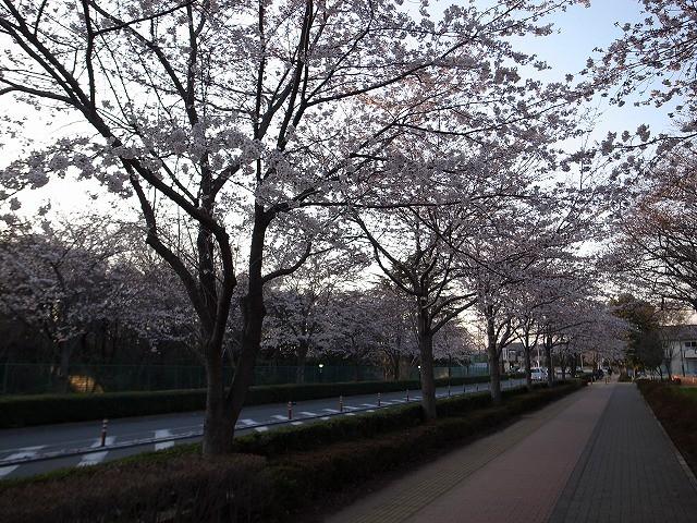 <p>d)街路樹も満開</p>