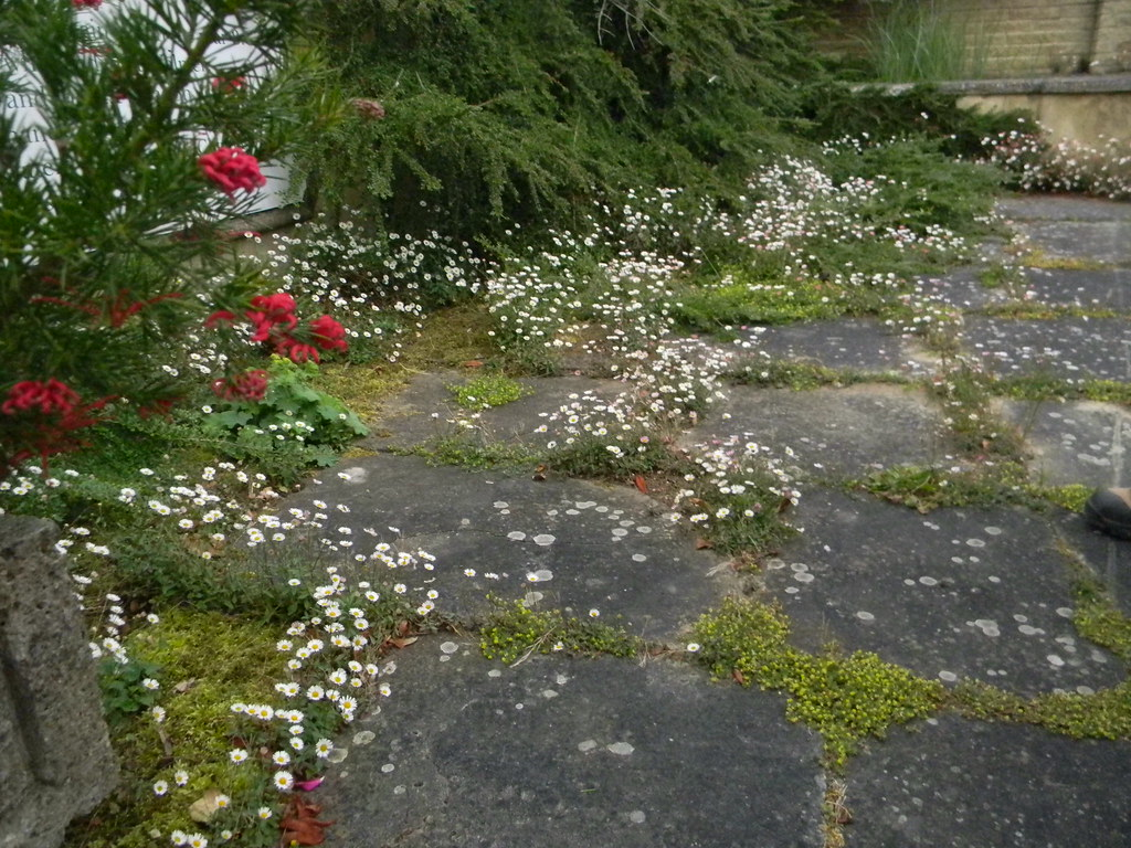 Daisies, entrance to Pine House Gardens St Margarets Bay, Deal to Dover