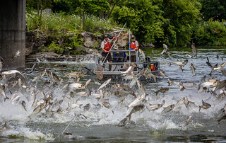 Jumping Silver Carp | by Asian Carp Regional Coordinating Committee