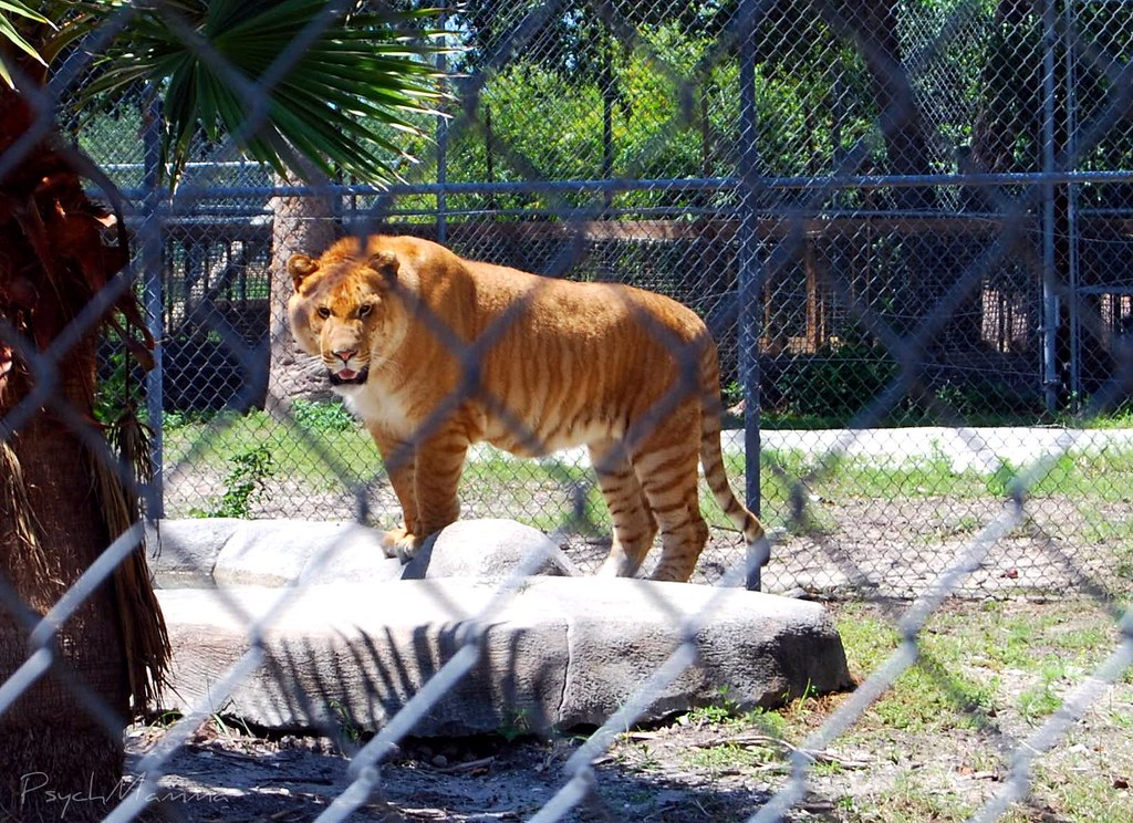 Real, Live Liger! | Bred for its skills in magic! He was 11