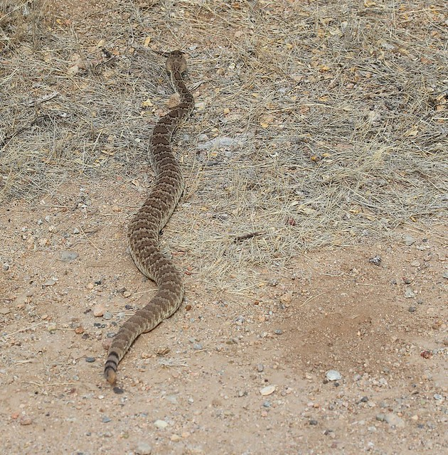 My second rattlesnake sighting of the year.  Probable Mohave (Crotalus scutulatus)