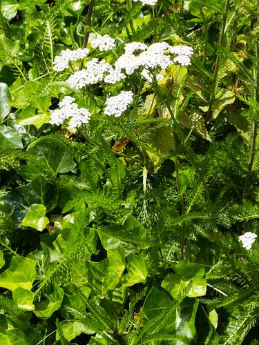Yarrow flowering