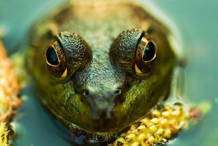 macro look of the Green frog | by |third|eye|