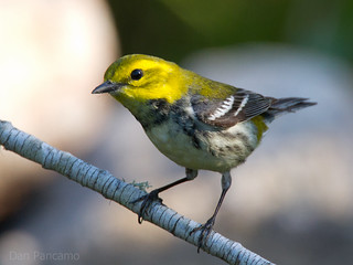 Black-throated Green Warbler | by Dan Pancamo