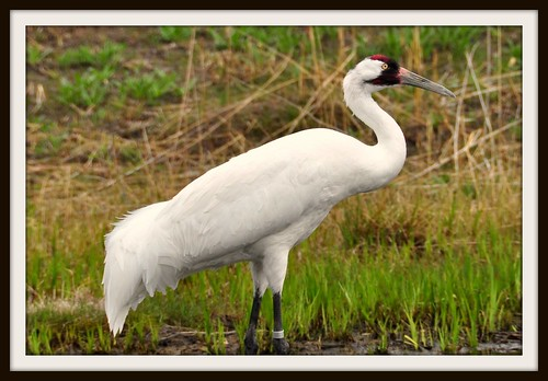 Whooping Crane | by River Wanderer