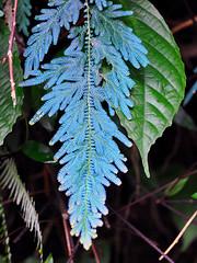 Bukit Lawang - Willdenow's Spikemoss