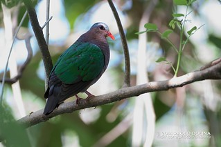 Male Common Emerald Dove (Chalcophaps indica)   by Paolo Dolina