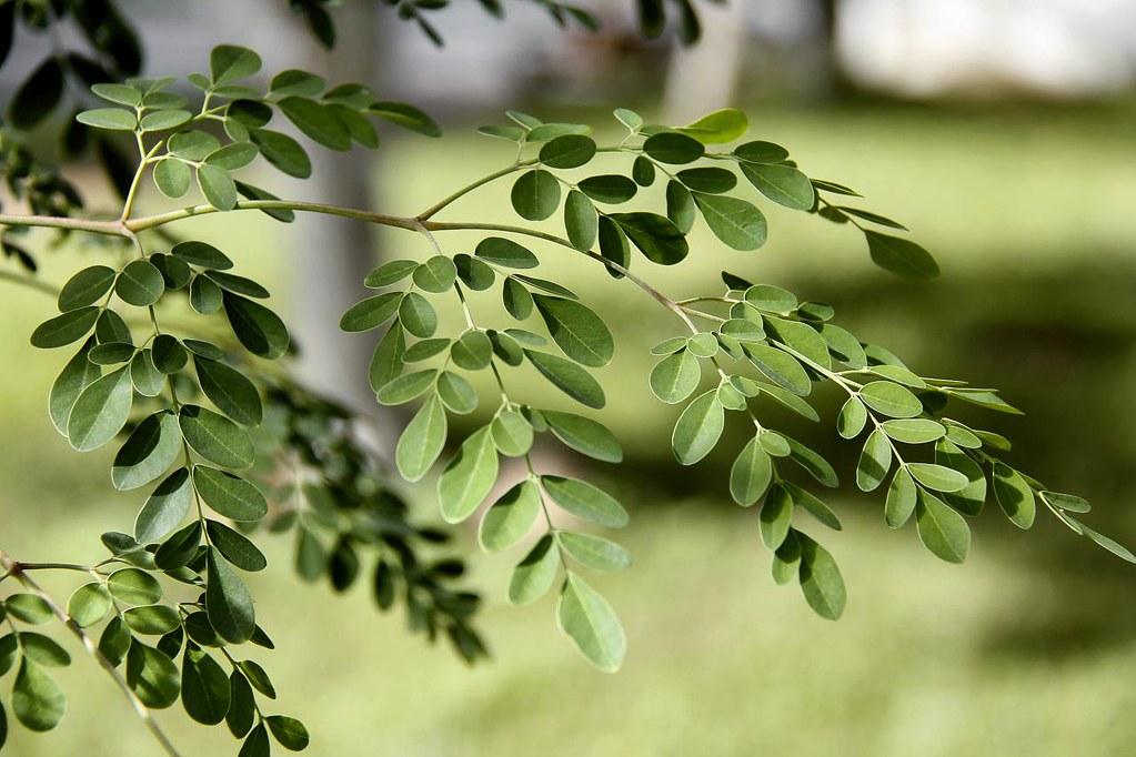 Moringa oleifera | Moringa oleifera Lam. MORINGACEAE Local: … | Flickr