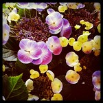 アジサイ ロイヤルブルー at.flower