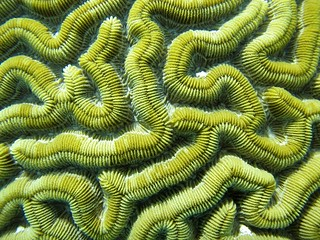 Brain Coral | by nashworld