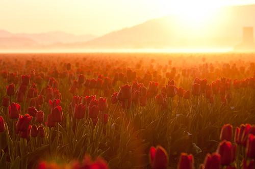 sunrise tulips tulipfestival mtvernon 85mmf18 seattleflickrmeetup project365 nikond300 msetulips1104