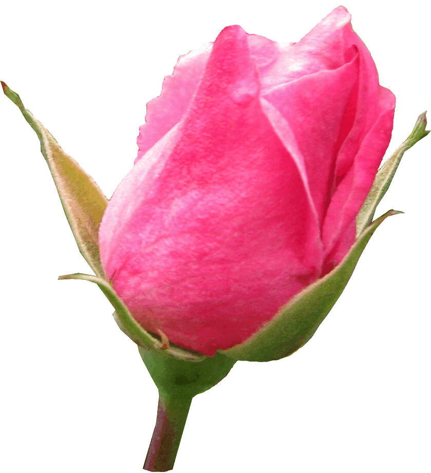 Pink rosebud clipart, lge 13 cm | This clipart-style image h… | Flickr