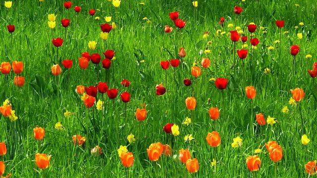 20110427 Berlin Britzer Garten Tulipan Blumen Tulpen Wiese (3)