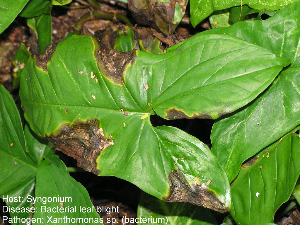 Syngonium Bacterial Leaf Spot Bacterial Leaf Blight Of