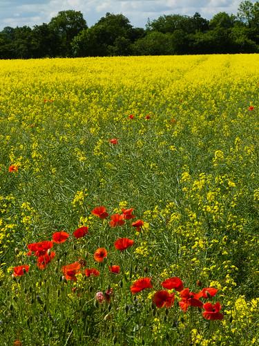 Poppies in a rape field
