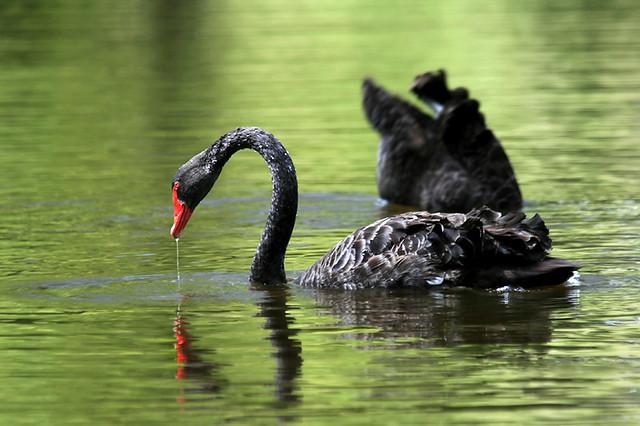 Native Black Swans
