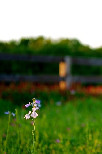 flowers sunset red grass leaves ferry purple north augusta clover hammonds