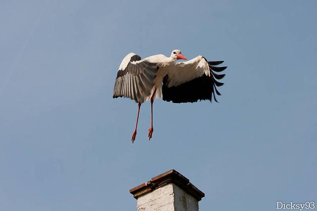 L'envol de la cigogne - La réserve naturelle du Zwin - Belgique