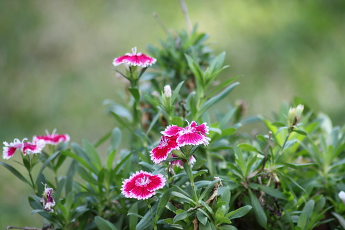 dianthus chinensis | by ArturoYee