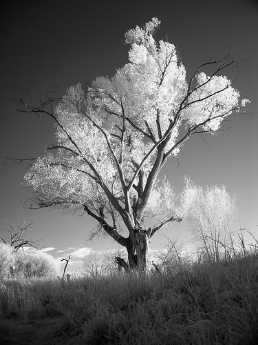 arizona usa tree ir az cottonwood infrared hereford baum cochisecounty fremontcottonwood populusfremontii sanpedroripariannationalconservationarea irstrahlung infrarotstrahlung sanpedrornca alamocottonwood