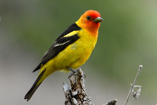 Western Tanager | by USFWS Pacific Southwest Region