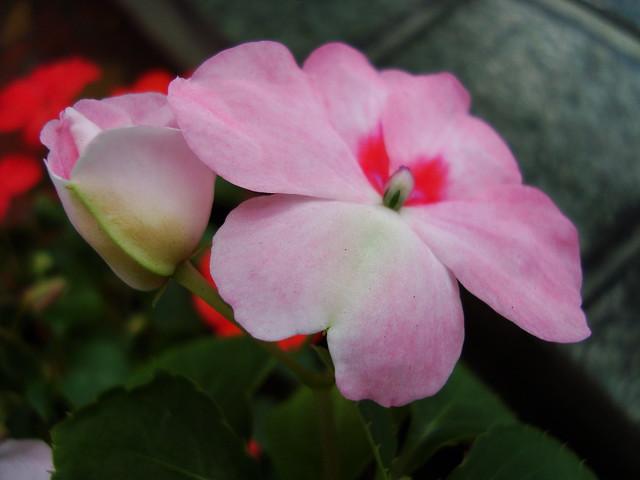 Flor e botão