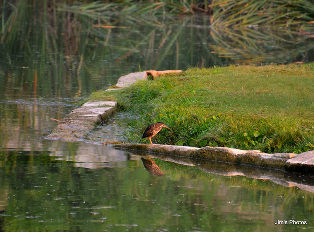 Brown Bird at Pond
