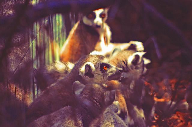 Lemur's orange eyes